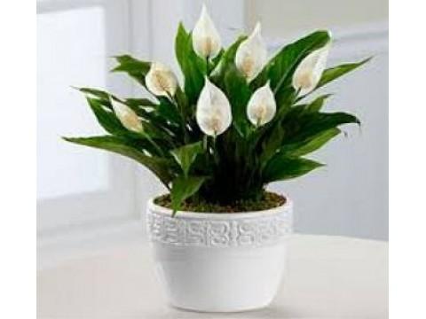 Kambarinių gėlių tręšimas ir dauginimas