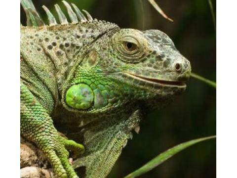 Iguanos