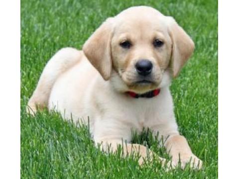Renkamės labradoro retriverio šuniuką